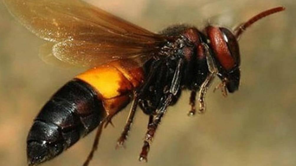 Đi cắt cỏ thuê, người đàn ông ở Cà Mau bị ong vò vẽ đốt tử vong