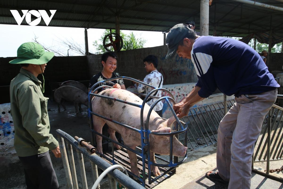 Giá lợn hơi giảm mạnh, hiện ở mức 55.000 - 60.000 đồng/kg